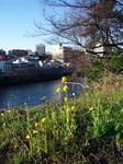 市ヶ谷堀土手に咲く菜の花